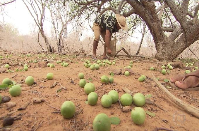 Umbuzeiro: Árvore milagrosa do sertão