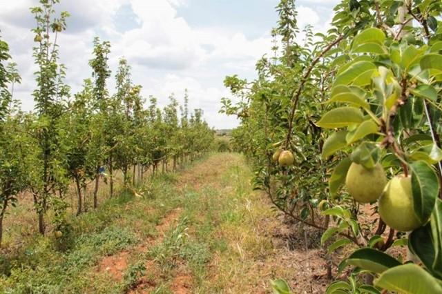 Canindé de São Francisco (SE) passa a produzir Uva e Pera